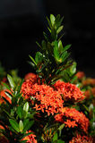 Red Ixora. Close up of red Ixora Royalty Free Stock Photo