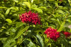 Red ixora Royalty Free Stock Photography