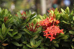 Red ixora bush in public park with blurry background. Red ixora bush in public park Royalty Free Stock Images