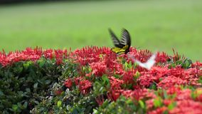 red ixora and butterfly stock video