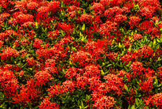 Red ixora stock photo