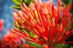 Red Ixora Coccinea Royalty Free Stock Photography