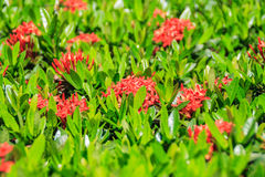Red Ixora coccinea flowers in midday Stock Photo