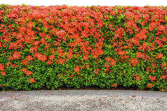 Red Ixora coccinea hedge and walkway Royalty Free Stock Photo