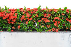 Red Ixora coccinea plants or Jungle Geranium, Royalty Free Stock Image