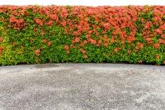 Red Ixora coccinea and walkway Royalty Free Stock Photo