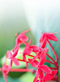 Red ixora flower against green leaves Royalty Free Stock Image