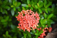 Red Ixora Flower Stock Photo