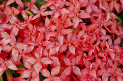 Red Ixora flower. In garden Royalty Free Stock Photo