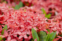 Red Ixora flower. In garden Royalty Free Stock Photography