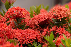 Red  Ixora flower in garden at thailand. Stock Images