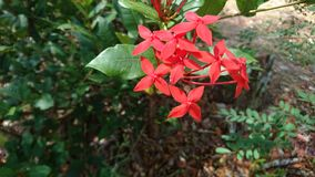 Red ixora flower. Panamá of flower Royalty Free Stock Images