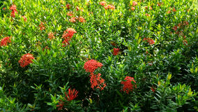 Red Ixora Flower in the public garden Royalty Free Stock Photos