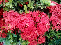 Red Ixora flower Royalty Free Stock Photos