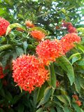 Red ixora flower on the tree Royalty Free Stock Image