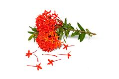 Red ixora flower on white stock images