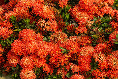 Red Ixora flowers Royalty Free Stock Photo