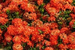 Red Ixora flowers Royalty Free Stock Photo