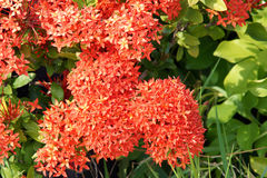 Red ixora flowers Stock Photography