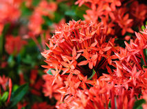 Red Ixora flowers Royalty Free Stock Photos