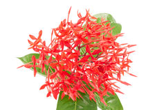 Red ixora flowers isolated on white background hor Stock Photography