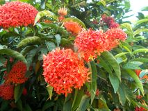 Red ixora flowers Royalty Free Stock Photos