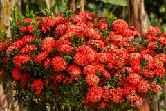 Red Ixora flowers Stock Photos