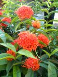 Red ixora flowers on the tree Royalty Free Stock Photos