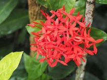Red ixora. Royalty Free Stock Photography