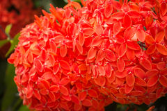 Red ixora in graden. With shadow edge royalty free stock photos
