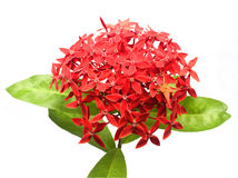 Red Ixora Royalty Free Stock Image
