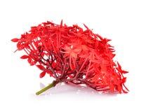 Red ixora on white background Stock Image