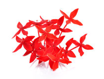 Red ixora on white background Stock Images