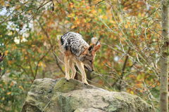 Red jackal Royalty Free Stock Photography