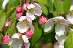 Red-jade apple tree flowers close-up Stock Photo
