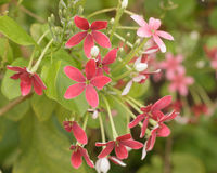 Red Jade plant flowers Stock Photography