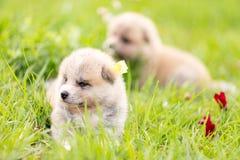 Red japanese akita puppies walks outdoor at park. Red japanese akita, akita inu, puppies walks outdoor at park Stock Photography
