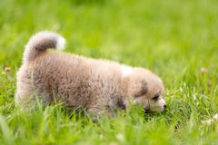 Red japanese akita puppy walks outdoor at park. Red japanese akita, akita inu, puppy walks outdoor at park Stock Images