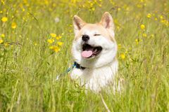 Japanese akita in flowers. Red japanese akita down and smile in flowers royalty free stock image
