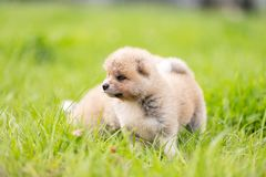 Red japanese akita puppy walks outdoor at park. Red japanese akita, akita inu, puppy walks outdoor at park Royalty Free Stock Image