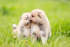 Red japanese akita puppies walks outdoor at park. Red japanese akita, akita inu, puppies walks outdoor at park Stock Images