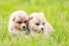 Red japanese akita puppies walks outdoor at park. Red japanese akita, akita inu, puppies walks outdoor at park Stock Photos