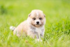 Red japanese akita puppy walks outdoor at park. Red japanese akita, akita inu, puppy walks outdoor at park Stock Image