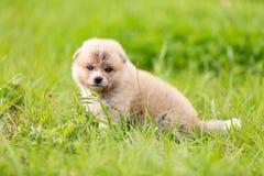 Red japanese akita puppy walks outdoor at park. Red japanese akita, akita inu, puppy walks outdoor at park Royalty Free Stock Photos