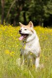 Japanese akita in flowers. Red japanese akita sit and smile in flowers royalty free stock images