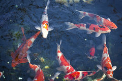 Red Japanese carp fish Stock Images