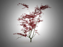 Red Japanese leaf tree Stock Photography