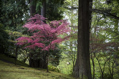 Red Japanese maple Stock Photography