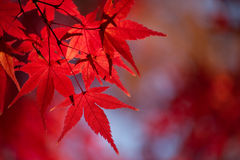 Red Japanese Maple (Acer palmatum) Tree Autumn Leaves Royalty Free Stock Images