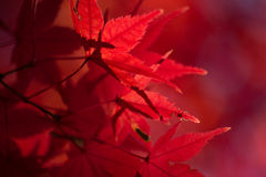 Red Japanese Maple (Acer palmatum) Tree Autumn Leaves Stock Images
